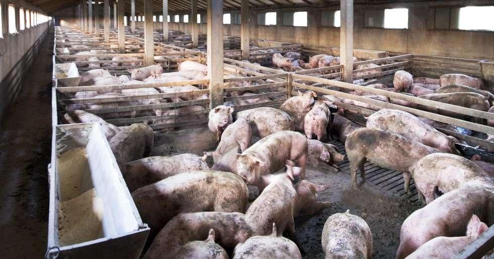 Bilderesultat for gris norge